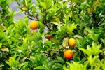 Абхазские апельсины