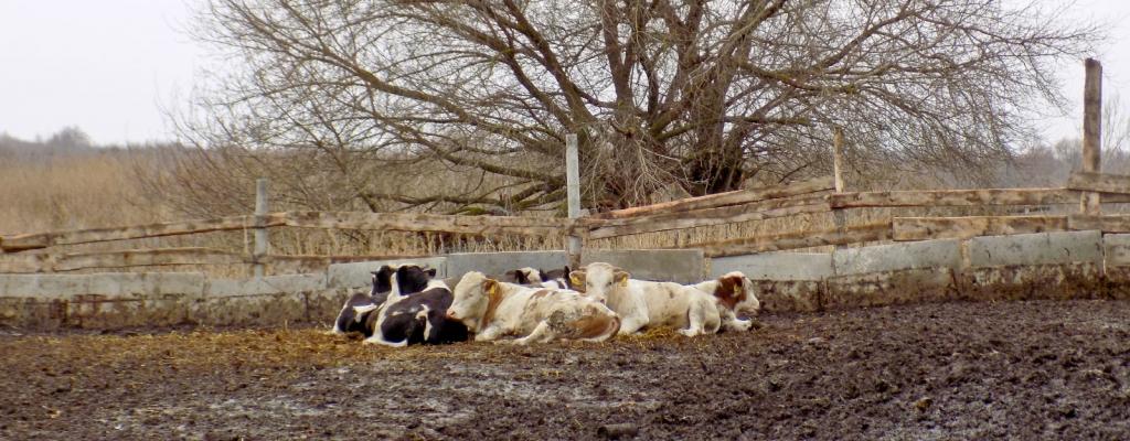 Минувшую зиму бычки пережили успешно: одинаково неплохо чувствовали себя как в помещении, так и на улице – в загоне....